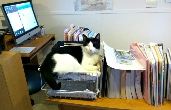 tuxedo cat in home office in box